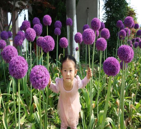 """""""棒棒糖""""花型的景观植物——奇特却不失美丽的大花葱"""