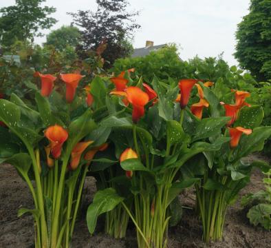 荷兰进口彩色马蹄莲种球——盆切花、花境景观应用效果斐然