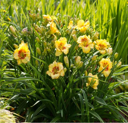 春季球宿根花卉批发│玉簪、萱草、彩色马蹄莲