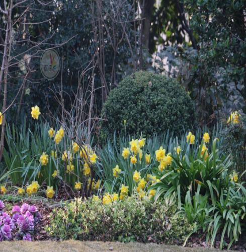 洋水仙花后处理|常见庭院花园景观种植疑问