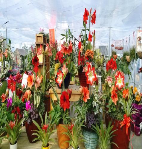 多年复花的朱顶红│盆栽、景观应用姣好
