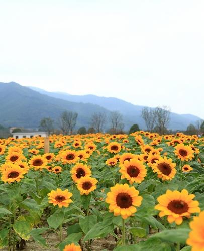 江苏向日葵